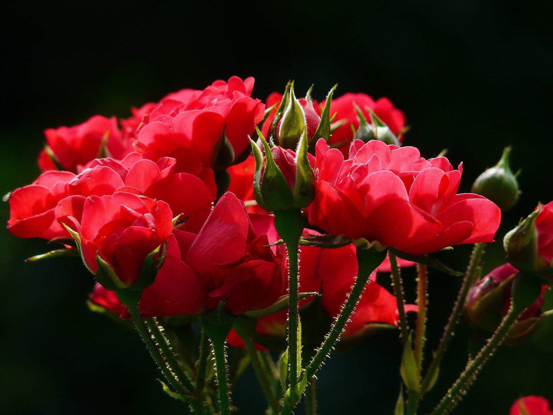 Růže a poupě